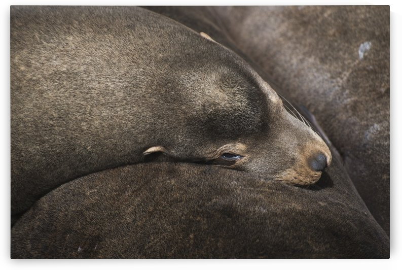 California Sea Lions (Zalophus californianus) nap on the riverfront; Astoria, Oregon, United States of America by PacificStock