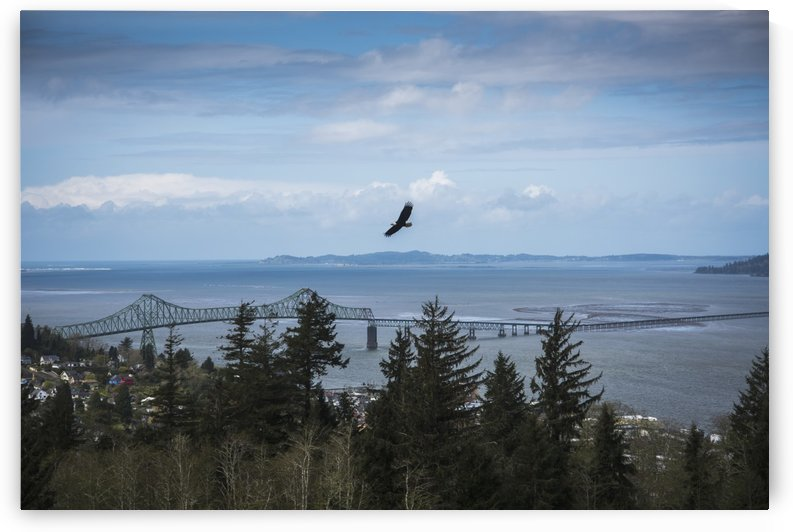 A Bald Eagle (Haliaeetus leucocephalus) soars over the trees above the town of Astoria; Astoria, Oregon, United States of America by PacificStock