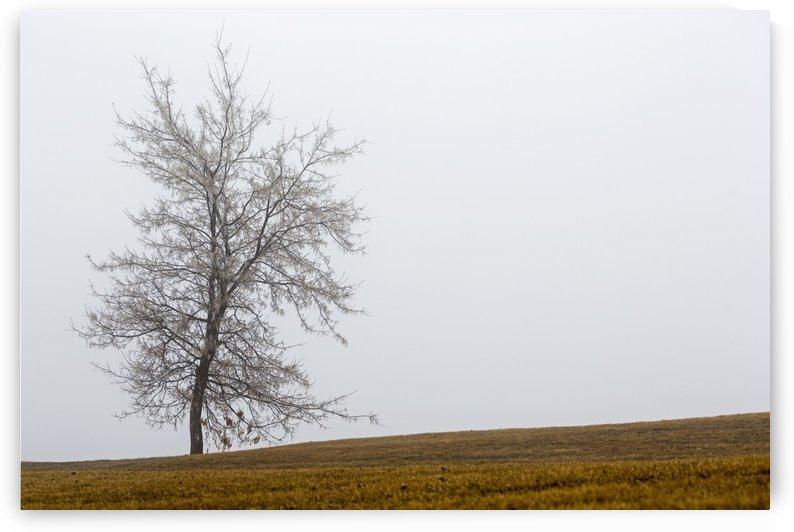 Single tree on a foggy hillside; Calgary, Alberta, Canada by PacificStock