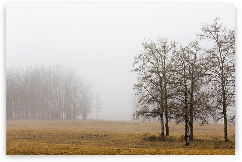 Trees in a foggy field; Alberta, Canada by PacificStock