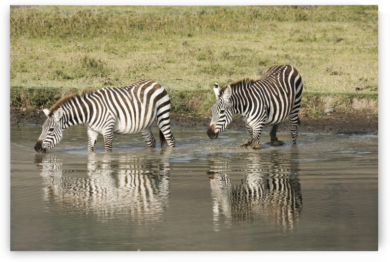 Two Common Zebra drinking in waterhole at Ngorongoro Crater; Tanzania by PacificStock