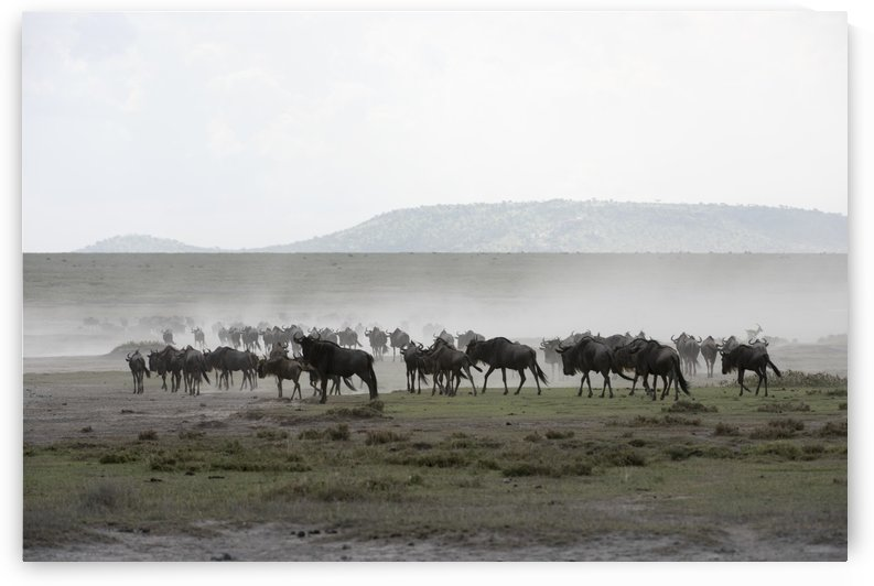 Herd of Wildebeest (Connochaetes taurinus) stirs up dust while moving across Serengeti short grass plains near Ndutu, Ngorongoro Crater Conservation Area; Tanzania by PacificStock