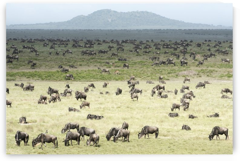 Large herd of Wildebeest (Connochaetes taurinus) grazes on the Serengeti short grass plains near Ndutu, Ngorongoro Crater Conservation Area; Tanzania by PacificStock