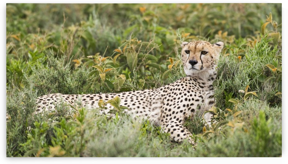 Cheetah (Acinonyx jubatus) with head up and staring intently reclines in low shrubs near Ndutu, Ngorongoro Crater Conservation Area; Tanzania by PacificStock