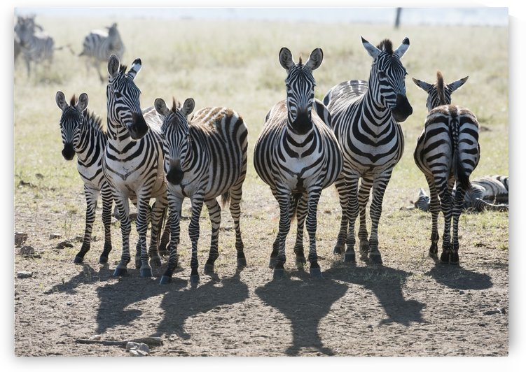Six Common Zebra stand in line in Serengeti National Park, Tanzania by PacificStock
