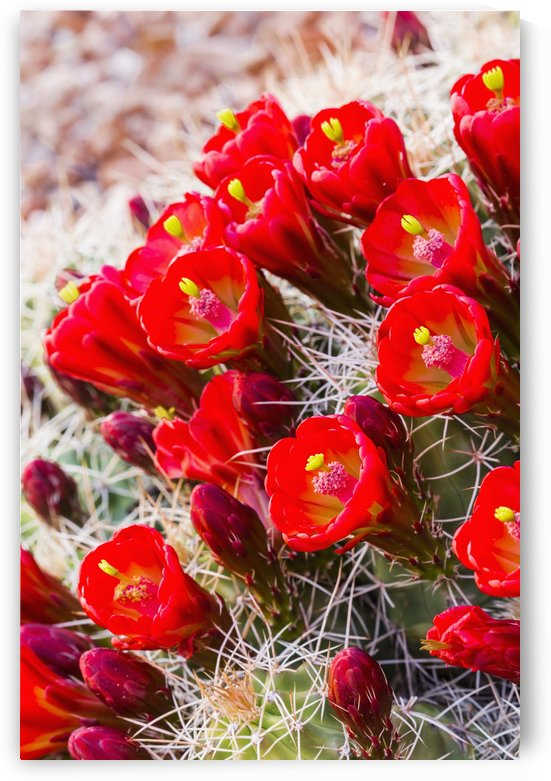 Close up view of Claret Cup Cactus (Echinocereus) flowers at sunset; Colorado, United States of America by PacificStock