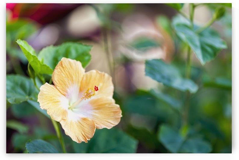 Hibiscus; Wailua, Kauai, Hawaii, United States of America by PacificStock