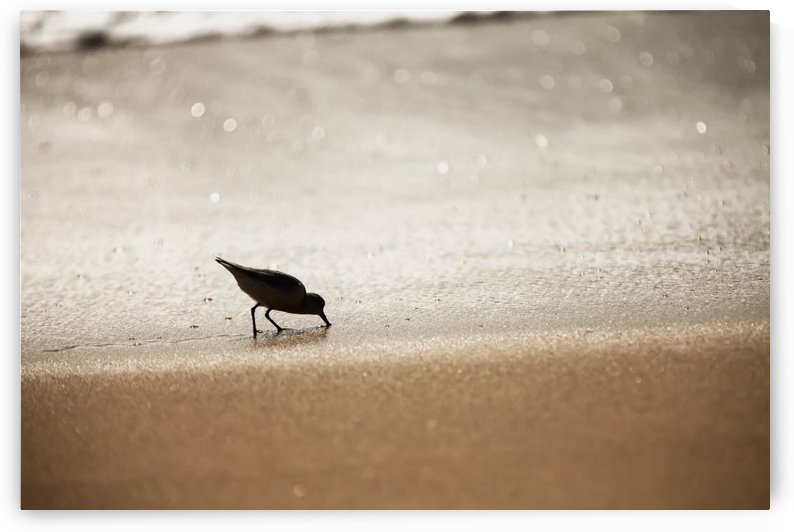 Sandpiper (Scolopacidae) drinking from the surf along Barking Sands; Kekaha, Kauai, Hawaii, United States of America by PacificStock