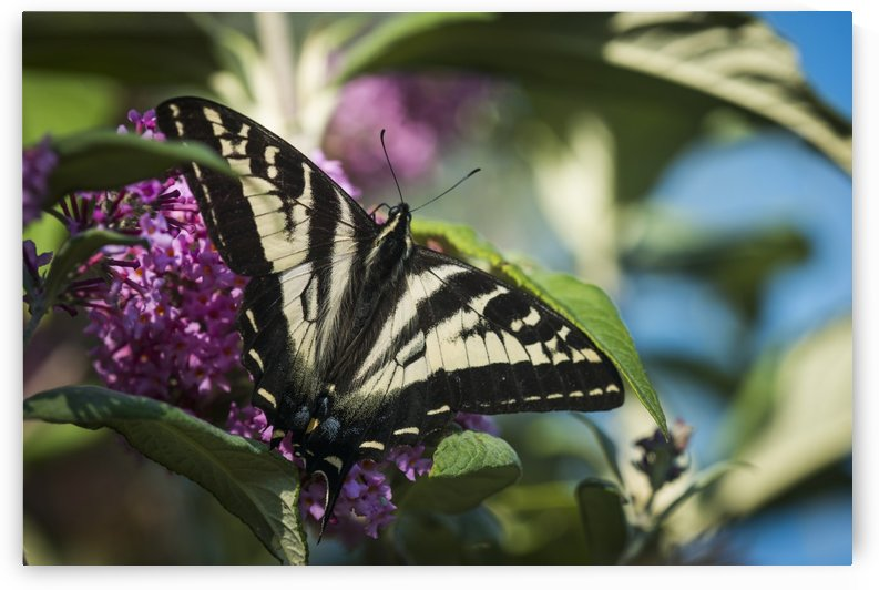 A Swallowtail Butterfly seeks nectar from a butterfly bush; Astoria, Oregon, United States of America by PacificStock