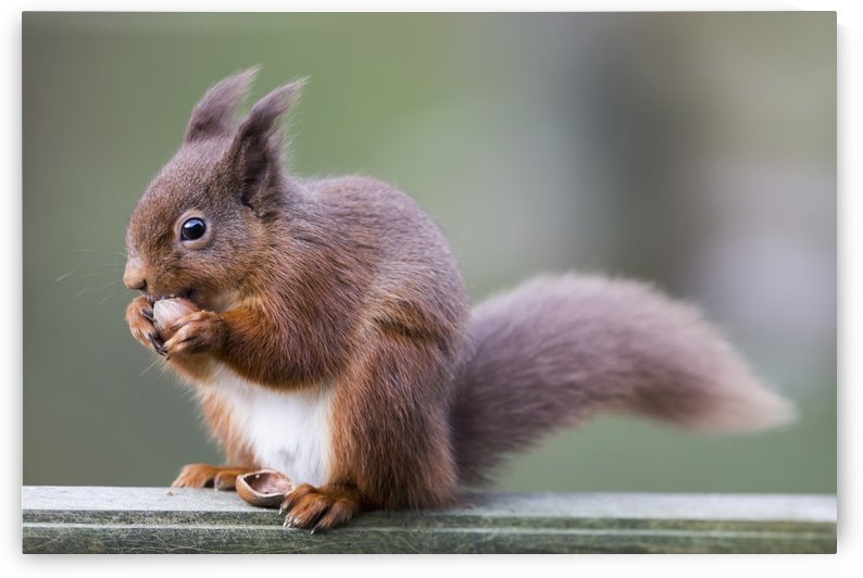 Squirrel eating an acorn; Cumbria, England by PacificStock