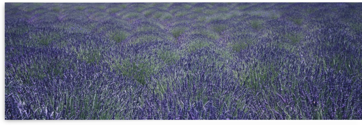 Close up view of lavender plants swaying in the breeze on an organic farm in the Santa Ynez Valley; Buellton, California, United States of America by PacificStock