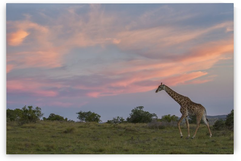 Giraffe at sunset; South Africa by PacificStock