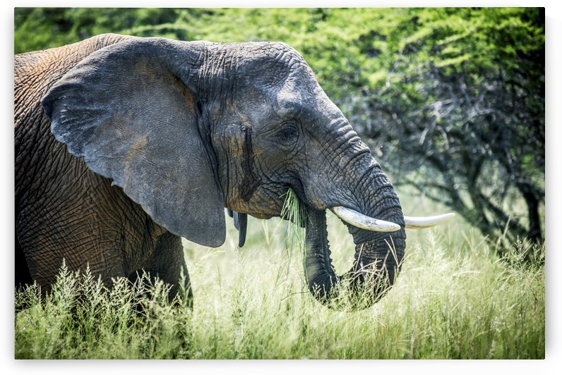 Elephant (elephantidae) feeding at Dinokeng Game Reserve; South Africa by PacificStock
