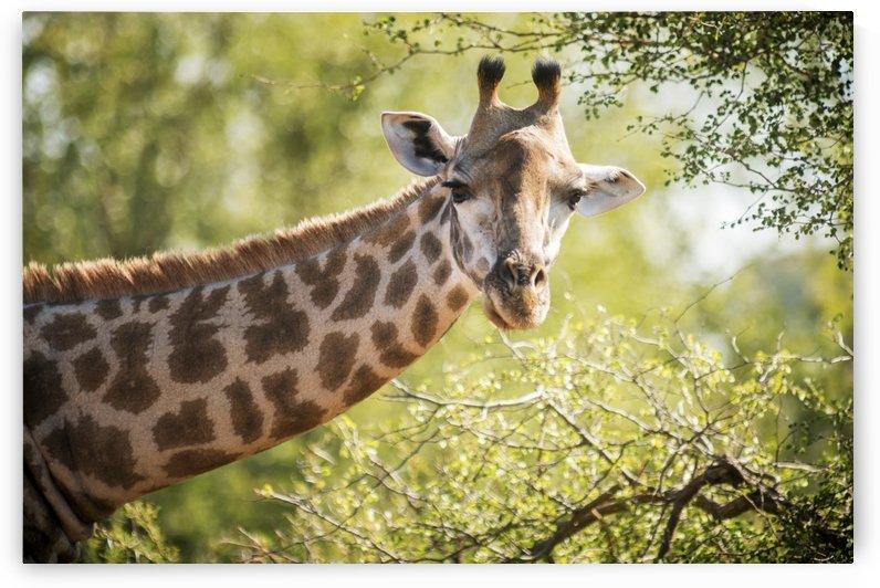 Giraffe (Giraffa camelopardalis), Kruger National Park; South Africa by PacificStock