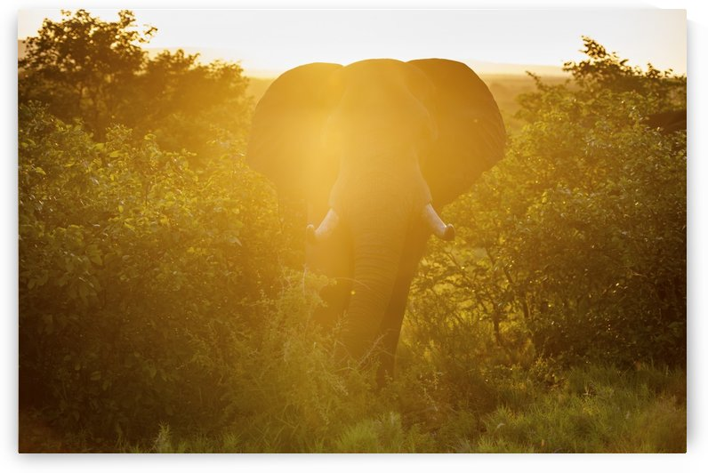 African Elephant (Loxodonta), Kruger National Park; South Africa by PacificStock