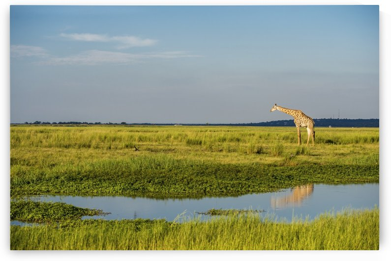 Giraffe (Giraffa camelopardalis), Chobe National Park; Kasane, Botswana by PacificStock