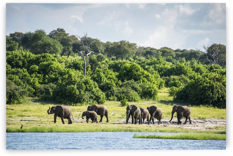 African Elephants (Loxodonta), Chobe National Park; Kasane, Botswana by PacificStock