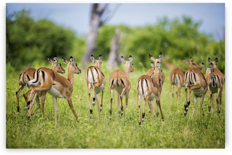 Impala (Aepyceros melampus), Chobe National Park; Kasane, Botswana by PacificStock
