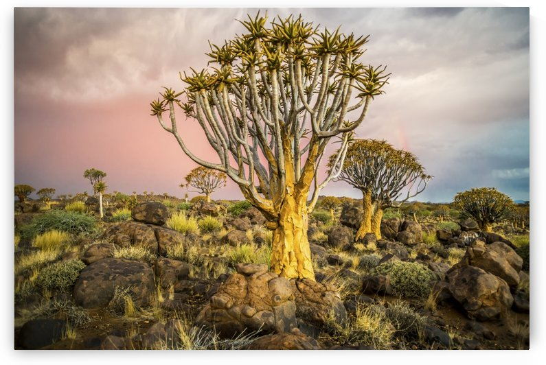 Quiver tree (Aloe dichotoma) forest in the Playground of the Giants; Keetmanshoop, Namibia by PacificStock