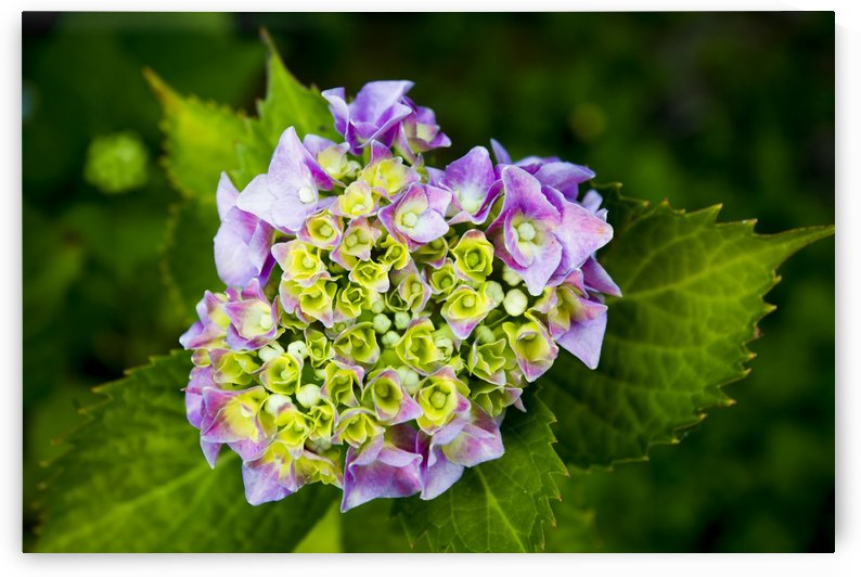 Close up of a purple hydrangea blossoming; British Columbia, Canada by PacificStock