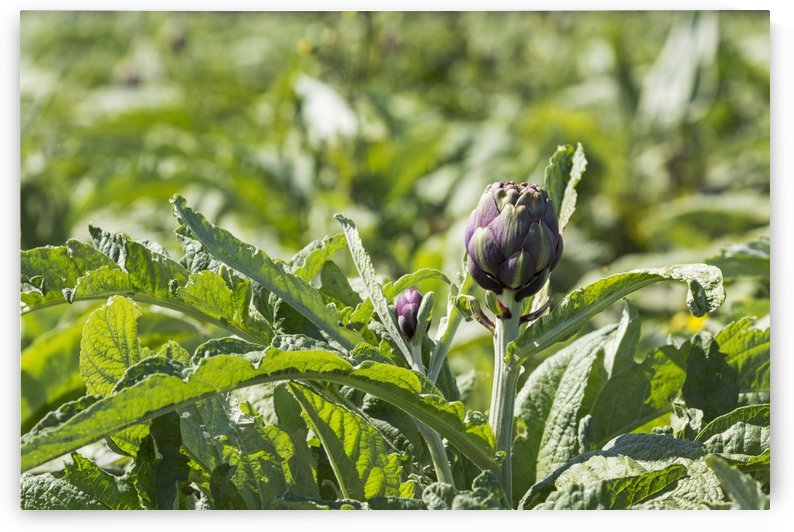 Close up of artichoke heads in field; Treguier, Brittany, France by PacificStock