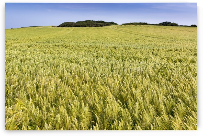 Wide angle image of a barley field with blue sky; Brittany, France by PacificStock