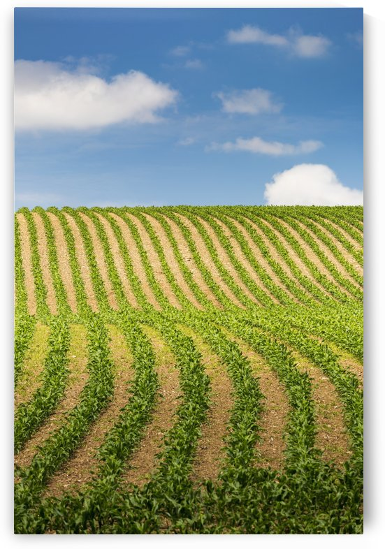 Rows of a corn field on a hilly slope with blue sky and clouds; Glomel, Brittany, France by PacificStock