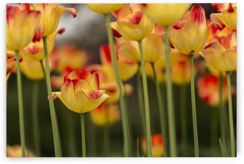 Triumph tulip, Suncatcher, (tulipa), Brooklyn Botanic Garden; Brooklyn, New York, United States of America by PacificStock