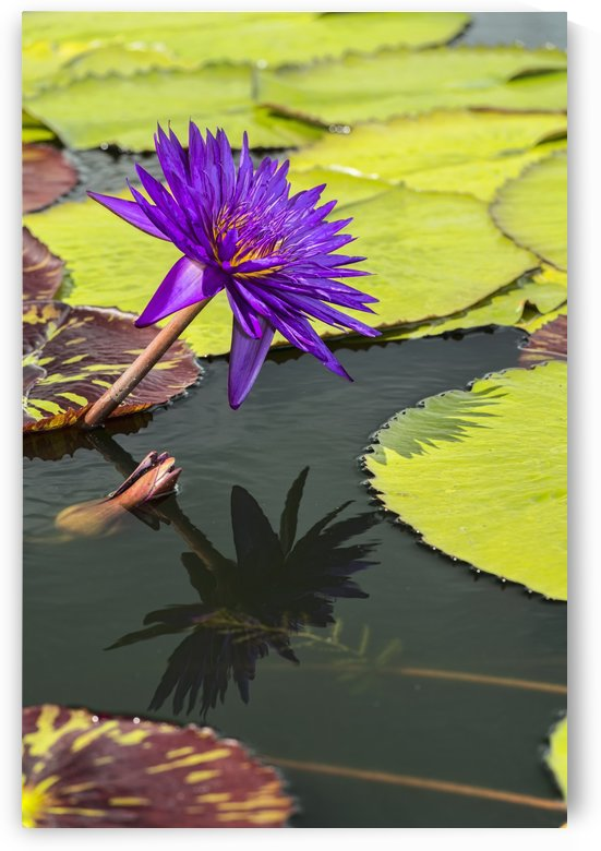 Tropical Waterlilies, Tanzanite Nymphaea, (nymphaeaceae), New York Botanical Garden; New York City, New York, United States of America by PacificStock