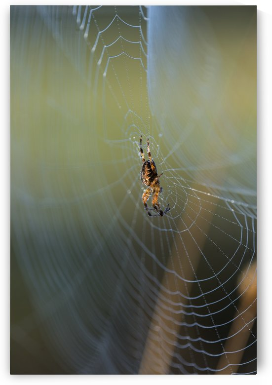 An orb weaver spider (Araneus diadematus) tends her web; Astoria, Oregon, United States of America by PacificStock
