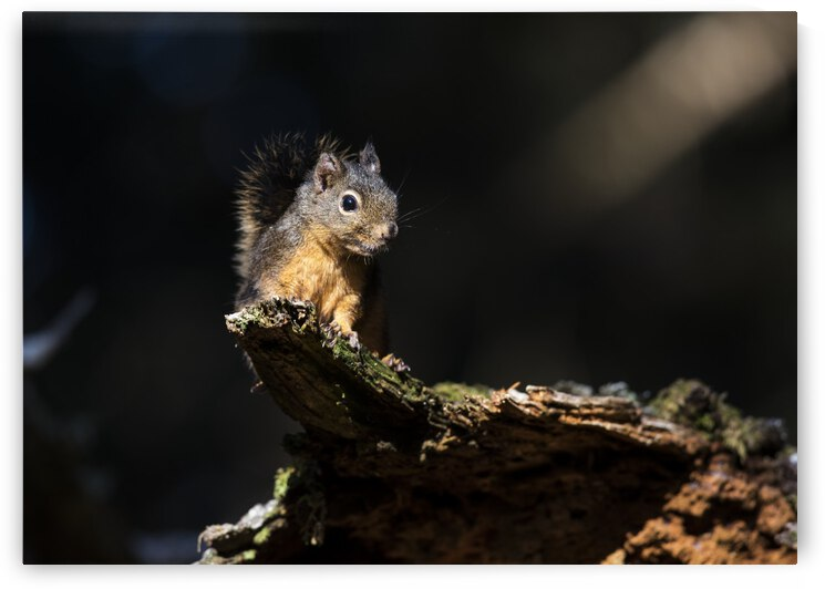 Douglas Squirrel (Tamiasciurus douglasii) looks down from a log; Ilwaco, Washington, United States of America by PacificStock