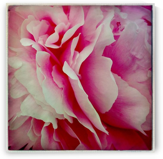 Pink Peony by Ulf Bley