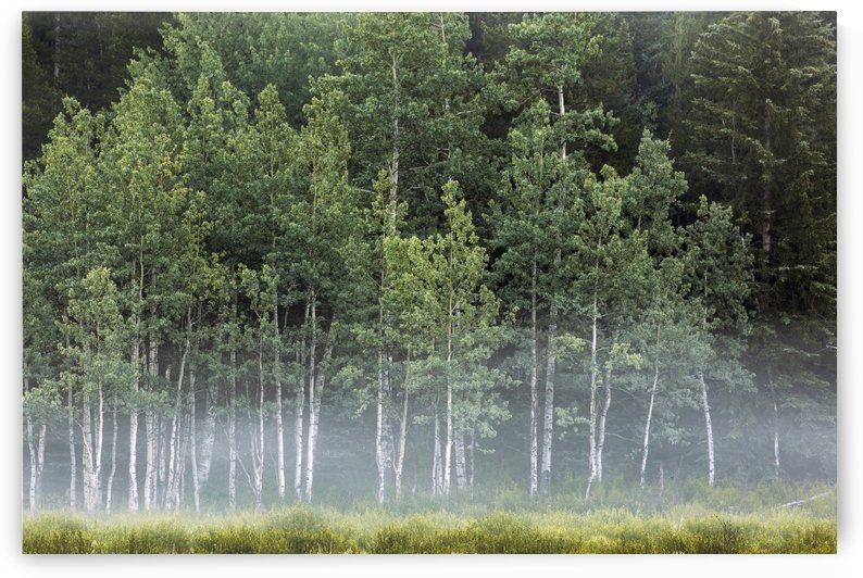 Fog covering a row of aspen trees in the early morning; Kananaskis Country, Alberta, Canada by PacificStock