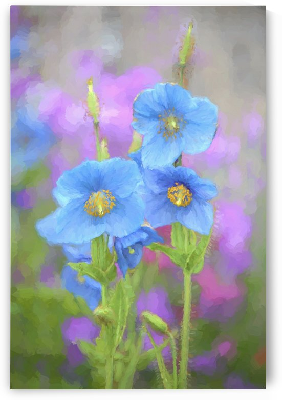 Blue poppy (Meconopsis grandis) growing in an Alaska garden; Kodiak, Alaska, United States of America by PacificStock