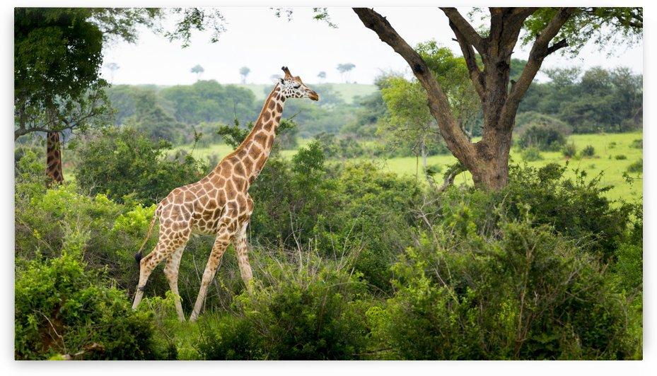 Giraffe (Giraffa camelopardalis), Murchison Falls National Park; Urganda by PacificStock