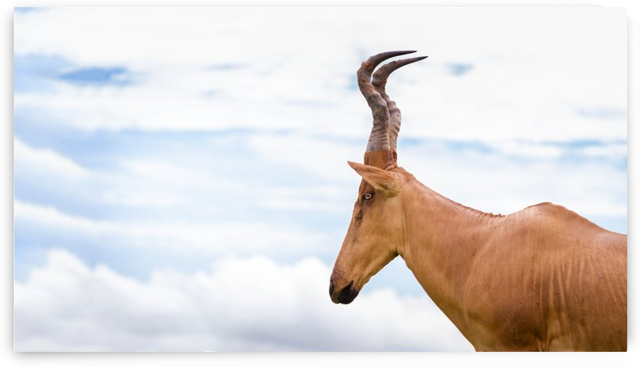 High shouldered and a somewhat awkward looking antelope with a long pointed head, Murchison Falls National Park; Uganda by PacificStock