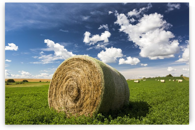 Close up of large round hay bale in an alfalfa field with clouds and blue sky; Acme, Alberta, Canada by PacificStock