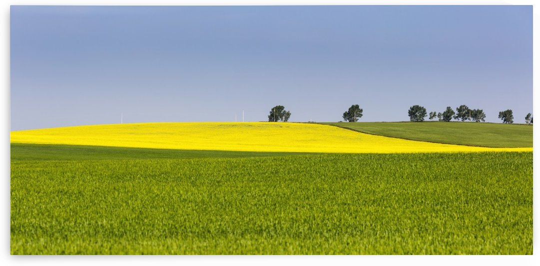 A flowering canola field framed by green fields with trees and blue sky; Acme, Alberta, Canada by PacificStock