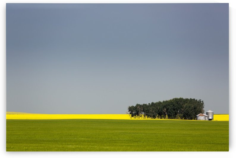 A flowering canola field in the distance framed by a green wheat field with a group of trees, metal grain bins and blue sky; Acme, Alberta, Canada by PacificStock