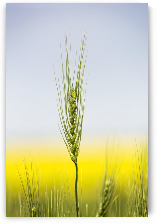 Close up of a green wheat head with the yellow colour of a flowering canola field in the background and blue sky; Acme, Alberta, Canada by PacificStock