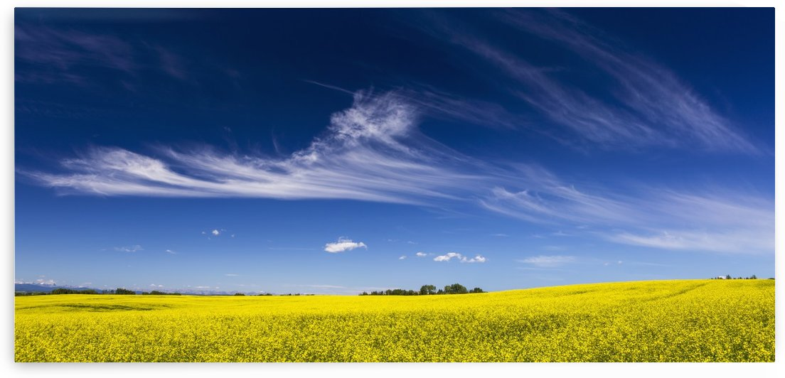 Flowering canola field with wispy clouds and blue sky; Alberta, Canada by PacificStock