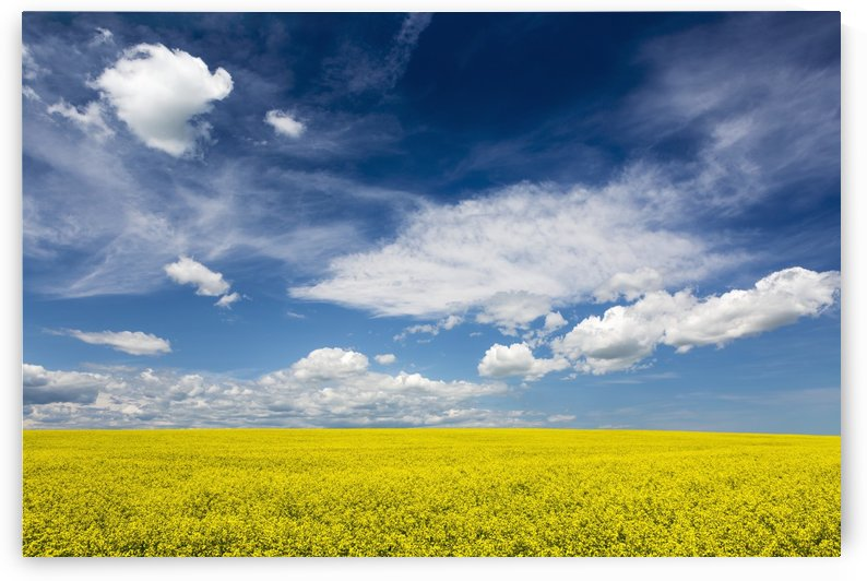 Flowering canola field with clouds and blue sky; Alberta, Canada by PacificStock