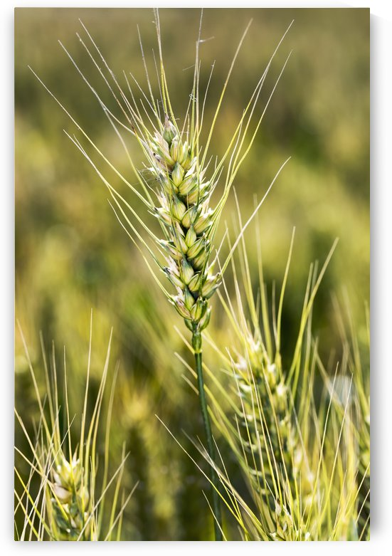 Close up of a ripening wheat head in a field; Acme, Alberta, Canada by PacificStock