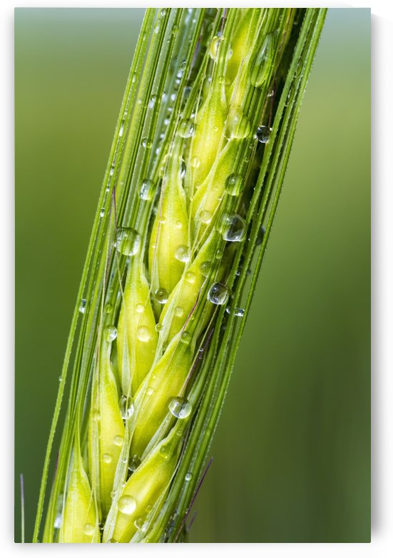 Extreme close up of a green barley head with water droplets; Acme, Alberta, Canada by PacificStock