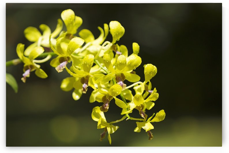 Yellow Dendrobium orchids; Hawaii, United States of America by PacificStock