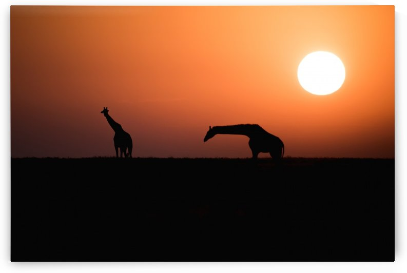 Two Maasai Giraffe (Giraffa camelopardalis) silhouetted against the rising sun, Ngorongoro Crater Conservation Area; Tanzania by PacificStock