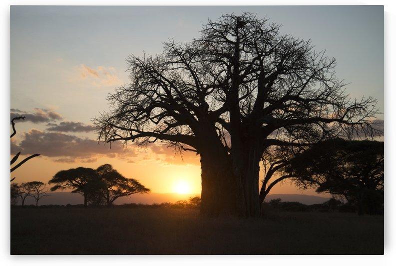 Leafless baobab tree at sunset, Tarangire National Park; Tanzania by PacificStock