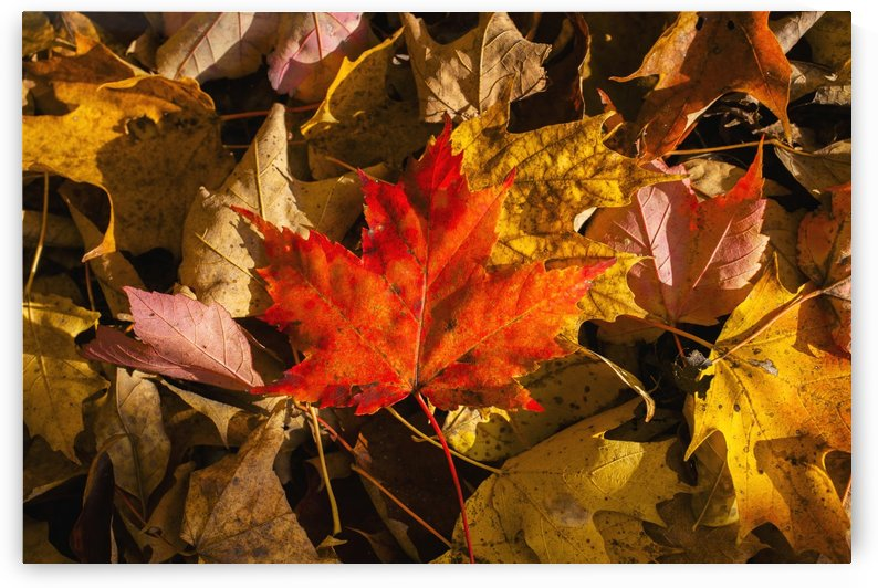 Red maple leaf on leaf background; Knowlton, Quebec, Canada by PacificStock