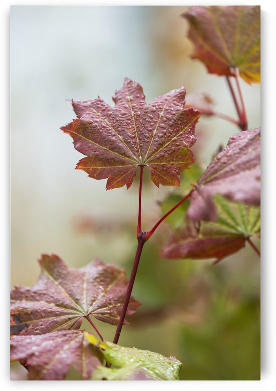 Vine Maple (Acer circinatum) grows in Lewis and Clark National Historic Park; Astoria, Oregon, United States of America by PacificStock