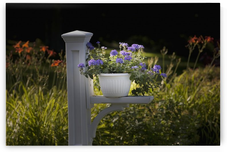 Sunlit purple flowers in a pot; Granby, Quebec, Canada by PacificStock